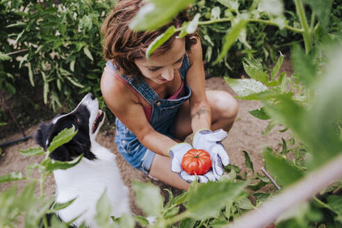 Mid adult woman with border collie holding tomato while working in vegetable garden - EBBF00416