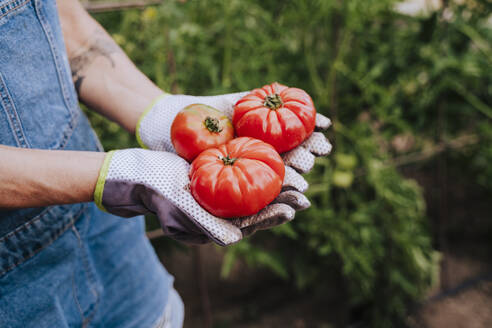 Close-up of woman holding tomatoes against plants in vegetable garden - EBBF00437