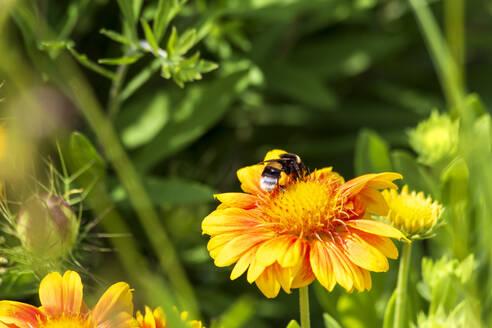 Bee feeding on yellow blooming wildflower - NDF01101