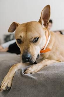 Dog lying on bed at home - EGAF00461