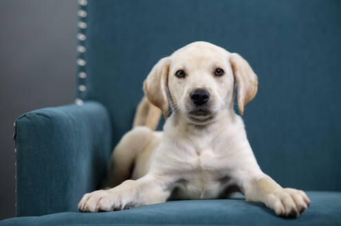Portrait cute yellow puppy laying in teal blue armchair - FSIF04957