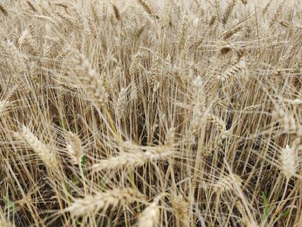 Wheat growing in field - CHPF00676