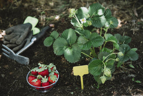 Strawberries in bowl by plants on land in garden - SKCF00674