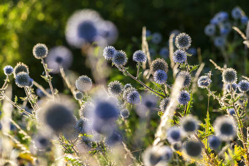 Thistle growing outdoors - NDF01118