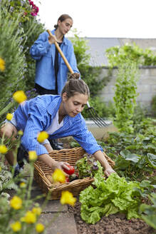 Young woman picking vegetable while working with friend in garden - UKOF00055