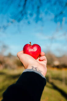 Crop person with ripe juicy red apple in tattooed hand in garden on background of bright blue sky in sunny day - ADSF10600