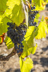 Grapes growing in vineyard - NGF00641