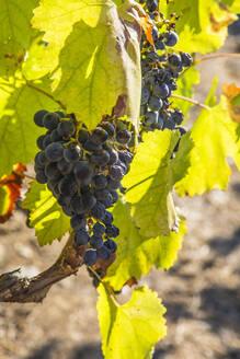 Grapes growing in vineyard - NGF00641