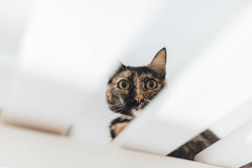 Cat looking through table while sitting on floor at home - SASF00063