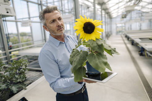 Businessman holding digital tablet and sunflower while standing in greenhouse - JOSEF01795