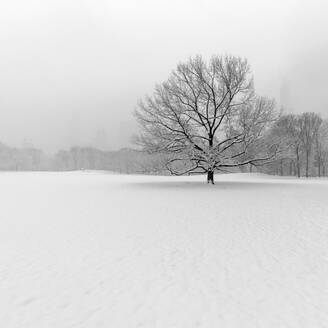 USA, New York, New York City, Bare tree in snow covered field in Central Park, bw - AHF00062