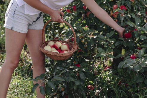 Mid adult woman wearing shorts picking apples while standing in orchard - OGF00583