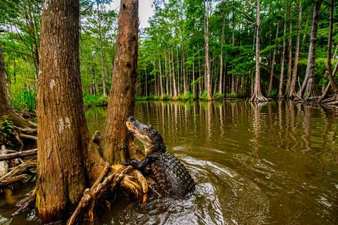 Alligators, swamp near New Orleans, Louisiana, United States of America, North America - RHPLF17711