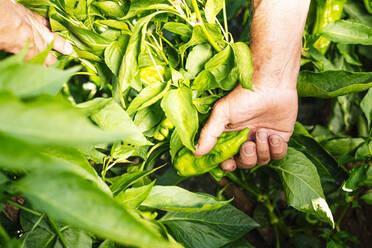 Hands of senior man picking pepper from plants in vegetable garden - JCMF01494