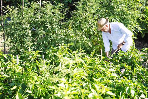 Senior man wearing hat working amidst plants in vegetable garden - JCMF01506