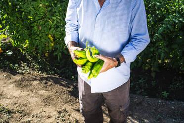 Senior man holding peppers while standing against plants in vegetable garden - JCMF01509