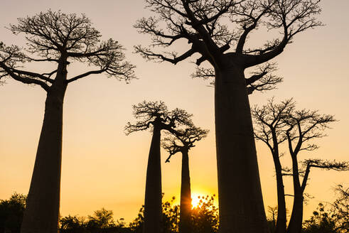 Silhouette baobab trees against clear sky at sunset, Morondava, Madagascar - JMPF00426