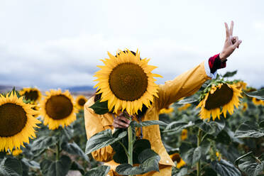 Young woman hiding behind sunflower in sunflower field - EBBF00870