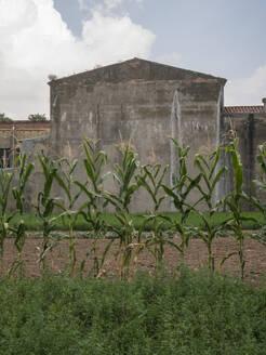 Corn crop grown at house backyard - JMF00517