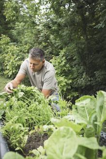 Mature man examining vegetable plant on raised bed at back yard garden - HMEF01077