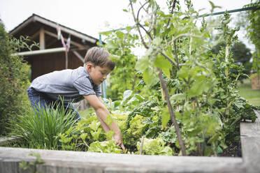 Boy gardening raised bed at back yard - HMEF01101