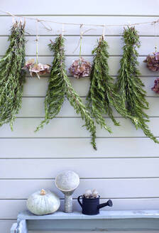 Hydrangeas and rosemary drying outdoors on garden shed - GISF00682
