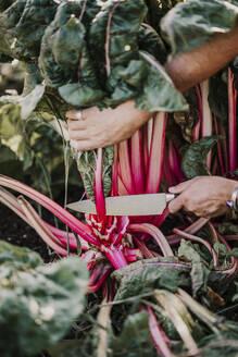 Farmer harvesting swiss chard crop at farm - MJRF00336