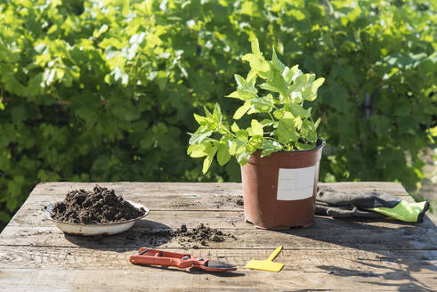 Potted plant with pruning shears on wooden table in garden - SKCF00706
