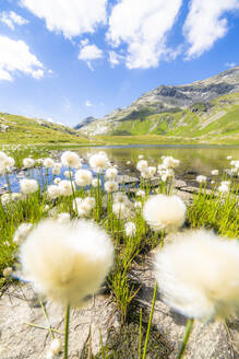 Cotton grass flowers in bloom on shores of Baldiscio lakes, Val Febbraro, Valchiavenna, Vallespluga, Lombardy, Italy, Europe - RHPLF18944