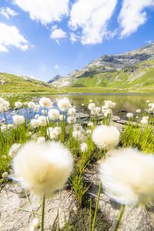 Cotton grass flowers in bloom on shores of Baldiscio lakes, Val Febbraro, Valchiavenna, Vallespluga, Lombardy, Italy, Europe - RHPLF18944