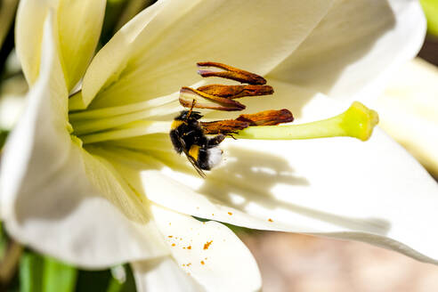 Bee feeding on pollen of white blooming flower - EGBF00556