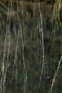 Birch trees reflecting on surface of lake in Teverener Heide - HLF01240