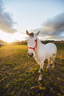 White horse wearing bridle standing in ranch - RSGF00519