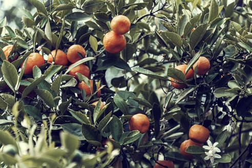 Ripe mandarines (Citrus reticulata) growing outdoors in spring - DWIF01146