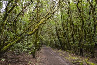 Waldweg im Lorbeerwald, Nationalpark Garajonay, La Gomera, Kanaren, Spanien - SIEF10117