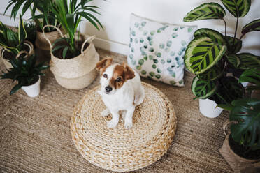 Dog sitting on ottoman stool by plant in living room at home - EBBF02526