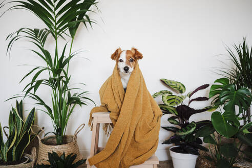 Pet covered in blanket sitting on table by houseplant at home - EBBF02529