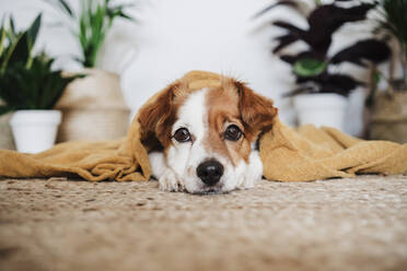 Dog with blanket relaxing while lying on carpet at home - EBBF02532