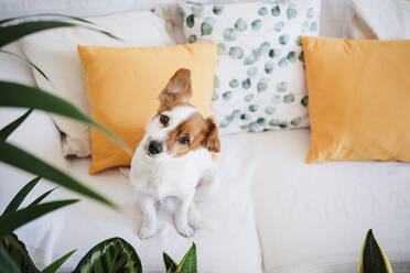 Dog with sitting on sofa at home - EBBF02535