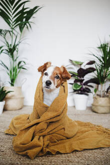Young puppy covered in blanket staring while sitting at home - EBBF02538