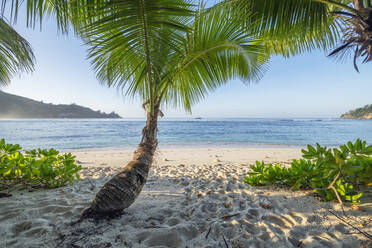 Palm tree growing on Baie Lazare beach in summer - RUEF03211