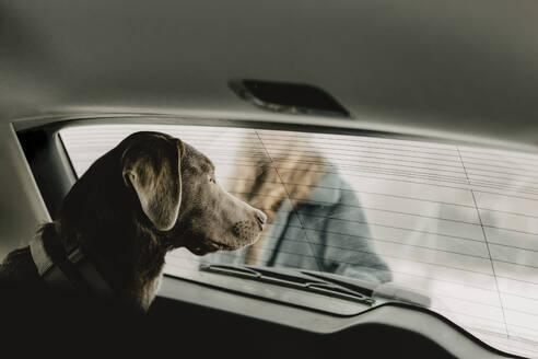 Deutschland, Brandenburg, Strausberg, Portrait von einem Labrador Retriever im Kofferraum - OJF00451